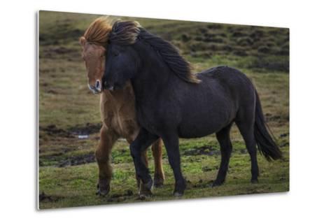 Icelandic Horses-Art Wolfe-Metal Print