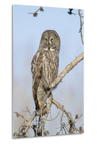 USA, Wyoming, Portrait of Great Gray Owl on Branch-Elizabeth Boehm-Metal Print