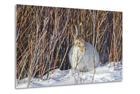 USA, Wyoming, White Tailed Jackrabbit Sitting on Snow in Willows-Elizabeth Boehm-Metal Print