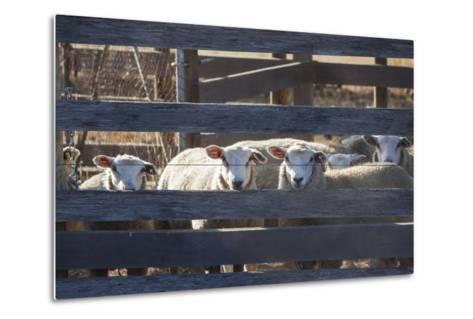Australia, Victoria, Yarra Valley, Sheep Farm-Walter Bibikow-Metal Print