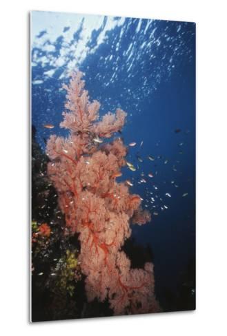 Indonesia, Komodo Islands, Gorgonian Soft Coral, Siphonogorgia-Stuart Westmorland-Metal Print