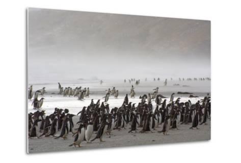 Falkland Islands. Saunders Island. Gentoo Penguins Fight the Wind-Inger Hogstrom-Metal Print