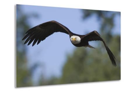 Bald Eagle-Ken Archer-Metal Print