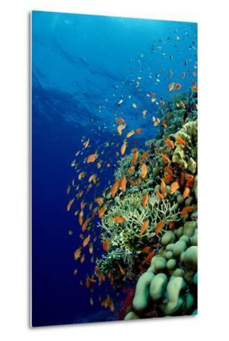 Schooling Lyretail Anthias and near a Coral Reef. (Pseudanthias Squamipinnis) Red Sea-Reinhard Dirscherl-Metal Print