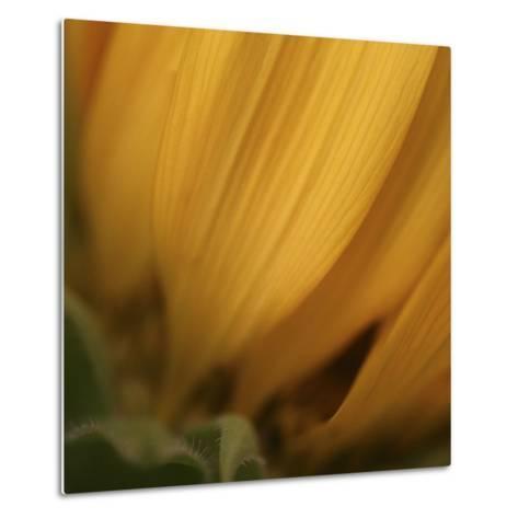 Yellow Sunflower Closeup-Anna Miller-Metal Print