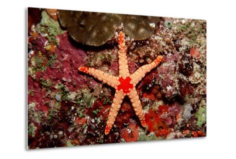 Red-Mesh Starfish (Fromia Monilis), Indian Ocean.-Reinhard Dirscherl-Metal Print