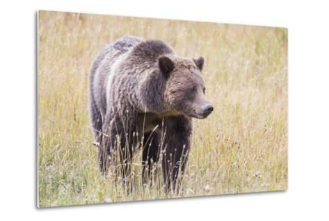 USA, Wyoming, Yellowstone National Park, Grizzly Bear Standing in Autumn Grasses-Elizabeth Boehm-Metal Print