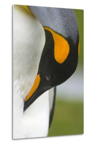 South Georgia. Saint Andrews. King Penguin, Aptenodytes Patagonicus-Inger Hogstrom-Metal Print
