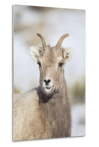 Wyoming, National Elk Refuge, Bighorn Sheep Ewe Portrait-Elizabeth Boehm-Metal Print