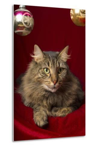 Maine Coon for Christmas with Collector Ornaments-Maresa Pryor-Metal Print