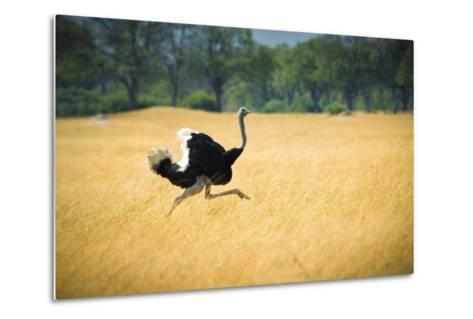 Male Ostrich Running in Dry Grass Trees in Background Botswana Africa-Sheila Haddad-Metal Print