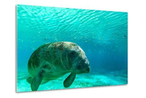 Manatee Swimming in Clear Water in Crystal River, Florida-James White-Metal Print