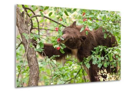 Juvenile Black Bear Eating Fruit in Missoula, Montana-James White-Metal Print
