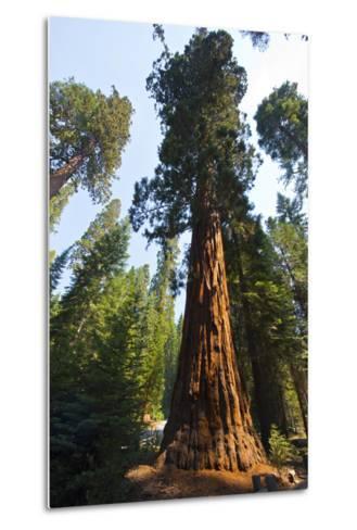 California, Yosemite National Park, Mariposa Grove of Giant Sequoia, the Colombia-Bernard Friel-Metal Print