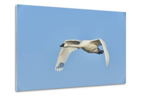 Tundra Swan-Gary Carter-Metal Print