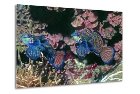 Mandarinfish Male and Female-Hal Beral-Metal Print