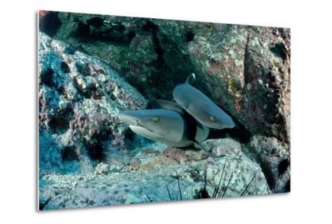 Hunting Whitetip Reef Sharks (Triaenodon Obesus), Central America, Pacific Ocean.-Reinhard Dirscherl-Metal Print
