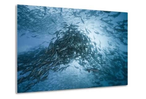 Large School of Rudderfish Laying Eggs in Open Water (Kyphosus Cinerascens)-Reinhard Dirscherl-Metal Print