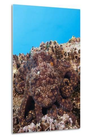 Common Octopus Camouflaged (Octopus Vulgaris)-Reinhard Dirscherl-Metal Print
