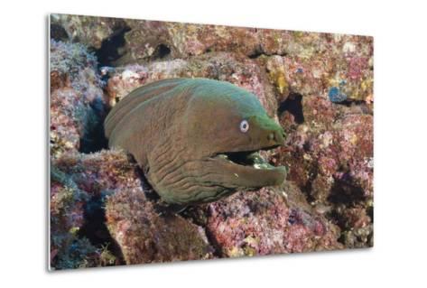 Panamic Green Moray Eel (Gymnothorax Castaneus)-Reinhard Dirscherl-Metal Print