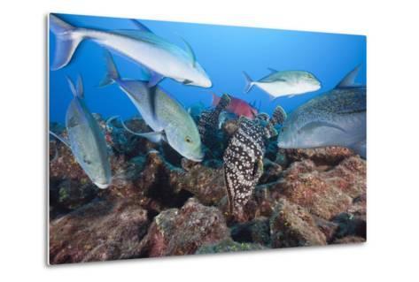 Bluefin Trevally (Caranx Melampygus) and Leather Bass (Dermatolepis Dermatolepis)-Reinhard Dirscherl-Metal Print