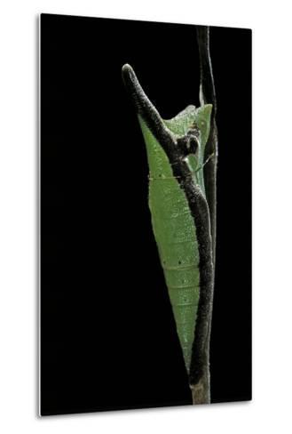Graphium Stratocles (Swallowtail Butterfly) - Pupa-Paul Starosta-Metal Print