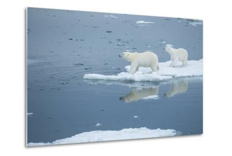 A Polar Bear and Cub Stand on Melting Pack Ice-Michael Melford-Metal Print