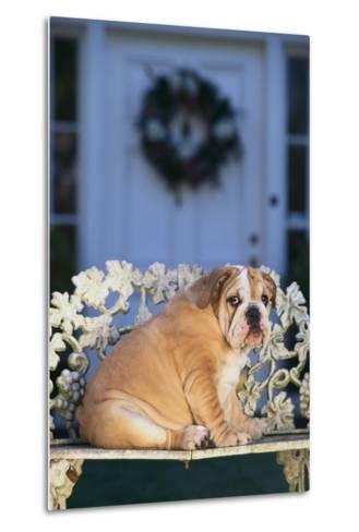 English Bulldog on a Garden Bench-DLILLC-Metal Print