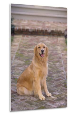 Golden Retriever-DLILLC-Metal Print