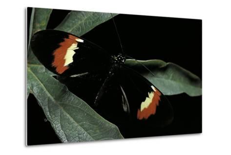 Heliconius Melpomene (Postman Butterfly)-Paul Starosta-Metal Print