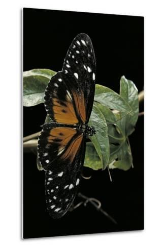 Heliconius Atthis Male X Heliconius Hecale Female (Longwing Butterfly)-Paul Starosta-Metal Print