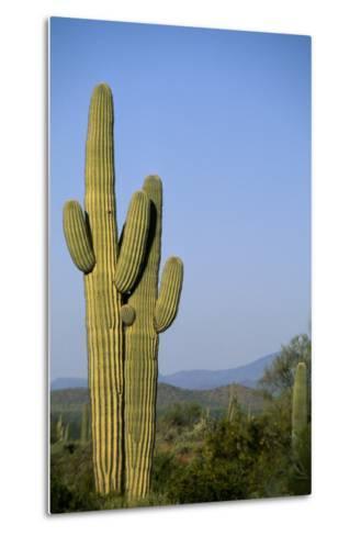 Saguaro Cactus in Desert-DLILLC-Metal Print