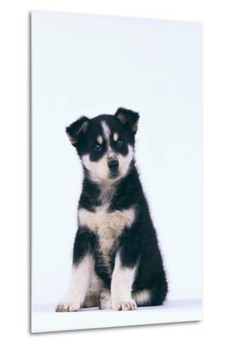 Husky Puppy-DLILLC-Metal Print