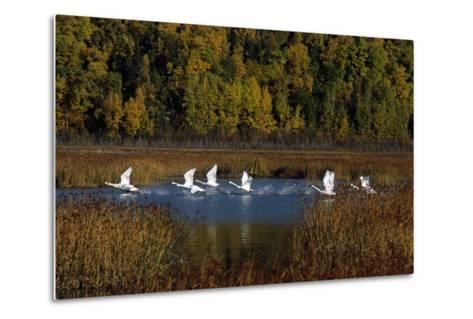 Trumpeter Swans in Flight over Potter Marsh in Southcentral, Alaska During Fall-Design Pics Inc-Metal Print
