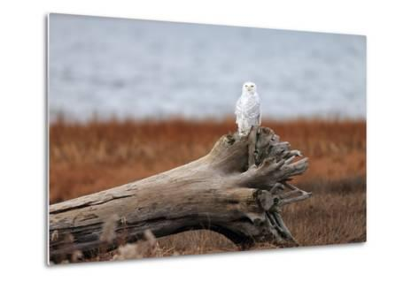 A Snowy Owl, Bubo Scandiacus, Perches on a Tree Stump on the Coast of Maine-Robbie George-Metal Print