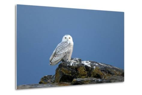 A Snowy Owl, Bubo Scandiacus, Perches on a Rock and Scans the Winter Landscape-Robbie George-Metal Print