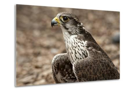 Falcon Portrait-Sheila Haddad-Metal Print