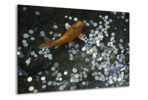 A Koi Fish Swims Above a Pile of Coins in a Pond-Joel Sartore-Metal Print