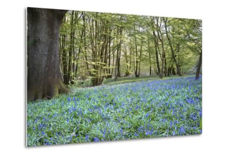 Bright Fresh Colorful Spring Bluebell Wood-Veneratio-Metal Print