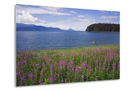 Man Sea Kayaking Along Shoreline of Admiralty Island with Fireweed Southeast Ak Inside Passage Summ-Design Pics Inc-Metal Print