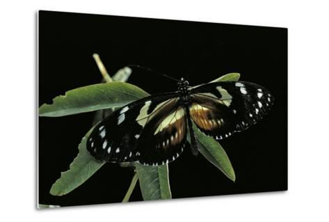 3/4 Heliconius Atthis X 1/4 Heliconius Hecale (Longwing Butterfly)-Paul Starosta-Metal Print