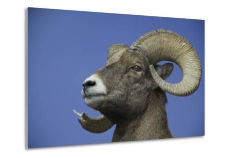 American Bighorn Sheep-DLILLC-Metal Print