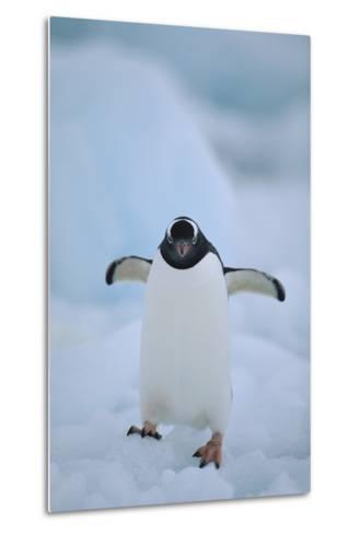 Gentoo Penguin Running-DLILLC-Metal Print