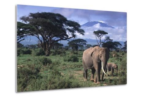 Elephant and Calf in Amboseli National Park-DLILLC-Metal Print