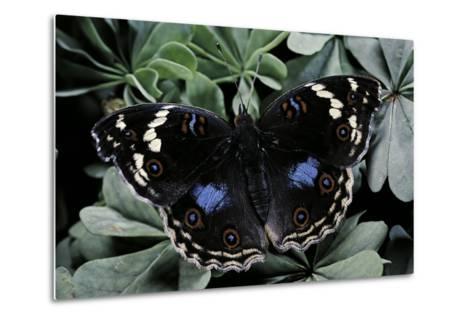 Junonia Oenone (Dark Blue Pansy)-Paul Starosta-Metal Print