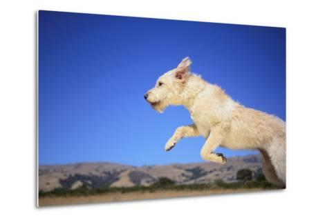 Dog Leaping-DLILLC-Metal Print