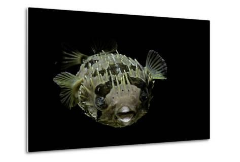 Diodon Holocanthus (Longspined Porcupinefish, Freckled Porcupinefish)-Paul Starosta-Metal Print