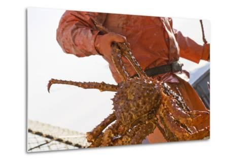 Crab Fisherman Carries a Brown Crab to the Hold of the F-Design Pics Inc-Metal Print