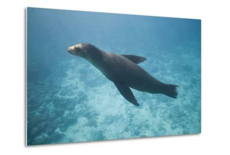 Sea Lion in the Ocean-DLILLC-Metal Print