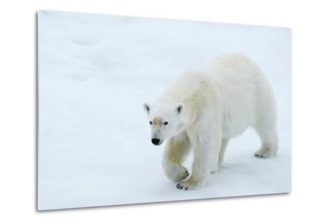A Polar Bear Walking on Ice-Michael Melford-Metal Print